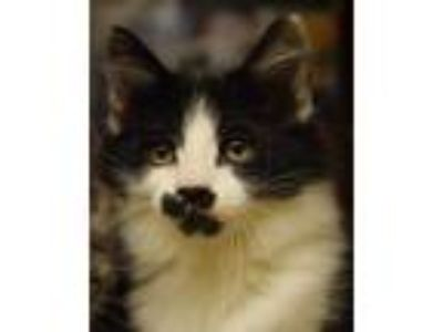Adopt Betty Boop - NORTH CONROE PETSMART a Maine Coon