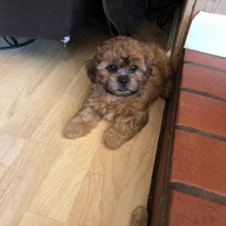 Zuchon PUPPY FOR SALE ADN-94878 - Adorable Shichon TeddyBear Puppies