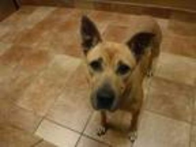 Adopt Greta a Tan/Yellow/Fawn Shepherd (Unknown Type) / Mixed dog in Fort Worth