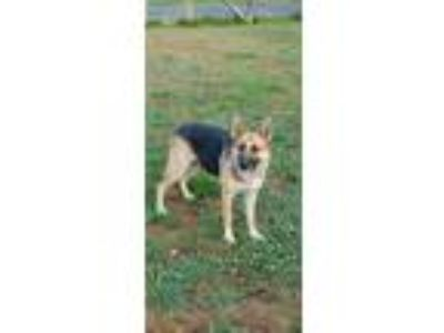 Adopt Sasha a Black - with Tan, Yellow or Fawn German Shepherd Dog / Mixed dog