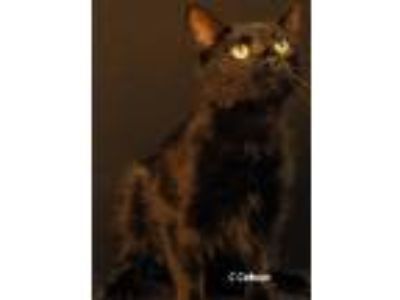 Adopt Gee Gee a All Black Domestic Shorthair (short coat) cat in Newland