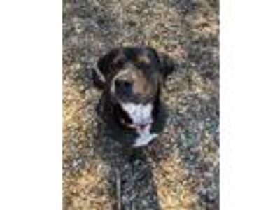 Adopt Bruno a Brindle - with White Rottweiler / Mixed dog in Mount Ida