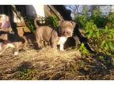 Ukc Xl American Pit Bull Terrier Pup