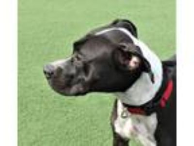 Adopt AC-Rutabaga a Black - with White Boxer / Labrador Retriever / Mixed dog in