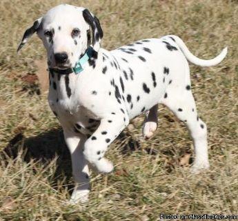 Charitable Dalmatian pups for sale now.