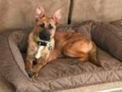 Adopt Fritz a Tan/Yellow/Fawn - with Black German Shepherd Dog / Mixed dog in St