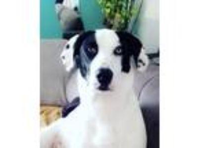 Adopt Maci a Black - with White Labrador Retriever / Hound (Unknown Type) dog in