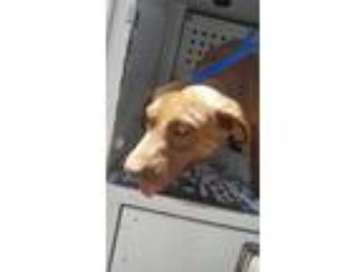 Adopt Snickers a Brown/Chocolate Labrador Retriever / Mixed dog in Fresno