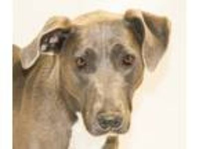 Adopt Destiny a Gray/Silver/Salt & Pepper - with White Retriever (Unknown Type)
