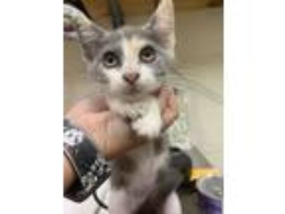 Adopt Candy a White American Shorthair / Domestic Shorthair / Mixed cat in