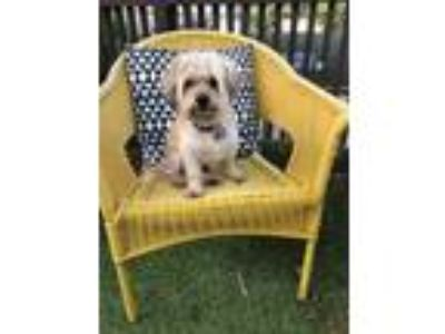 Adopt Sterling Moss a Tan/Yellow/Fawn Lhasa Apso / Mixed dog in Norwalk