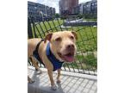 Adopt Leo a Tan/Yellow/Fawn American Staffordshire Terrier / Boxer / Mixed dog