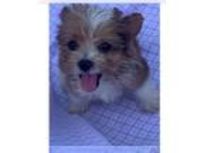 Adopt Rudy a Yorkshire Terrier, Poodle