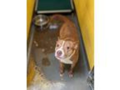 Adopt Phineas a Pit Bull Terrier