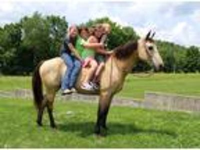 Gaited Palomino Kentucky Mountain Trail Gelding