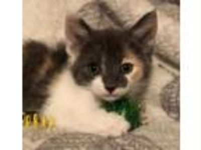 Adopt Patsy a Maine Coon, Dilute Calico
