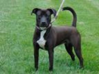 Adopt KIMBERLY a Brown/Chocolate - with White Labrador Retriever / American Pit
