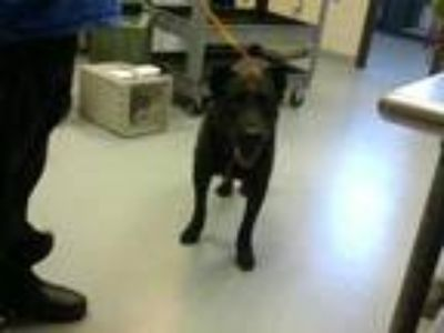Adopt RASCAL a Black Labrador Retriever / Mixed dog in Fayetteville