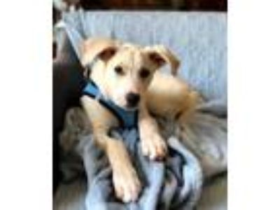 Adopt PUPPY POSSUM a Tan/Yellow/Fawn Labrador Retriever / Mixed dog in Norfolk
