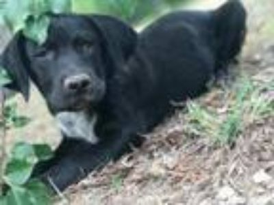 Adopt Kade AA CP in MS a Labrador Retriever, Australian Cattle Dog / Blue Heeler