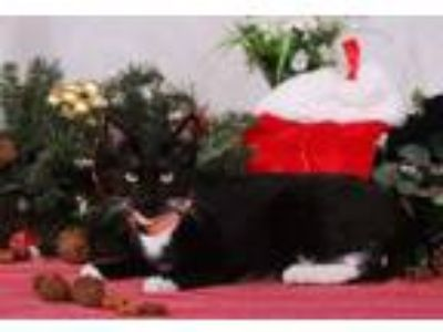 Adopt Fiona a Domestic Short Hair