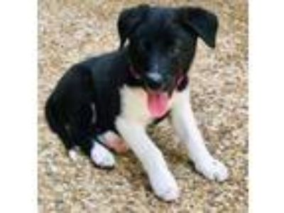 Adopt Livy a Border Collie