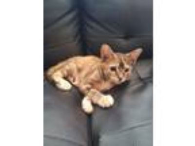 Adopt Mango a Domestic Shorthair / Mixed cat in Westmont, IL (25920988)
