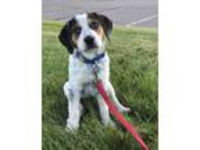 Adopt MINDY a Australian Cattle Dog / Blue Heeler, Beagle