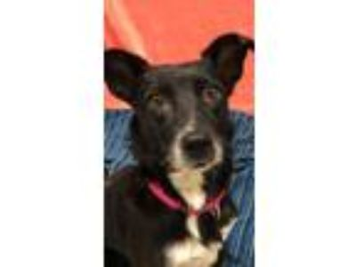 Adopt Petunia a Black Terrier (Unknown Type, Small) / Mixed dog in Lynnwood