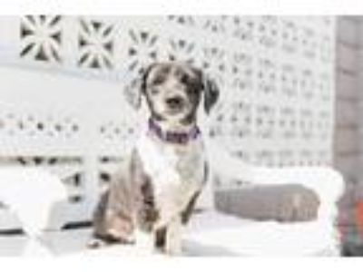Adopt Summer a Black - with White Shih Tzu / Cocker Spaniel / Mixed dog in