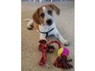 Adopt Nala a White - with Tan, Yellow or Fawn Basset Hound dog in Apopka
