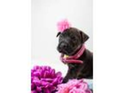 Adopt Sprinkle a Brindle German Shepherd Dog / Pit Bull Terrier dog in
