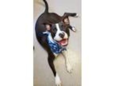 Adopt WAGS a Boxer, Pit Bull Terrier