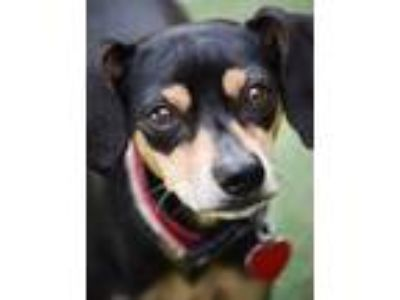 Adopt Hugo a Miniature Pinscher / Italian Greyhound / Mixed dog in Oceanside