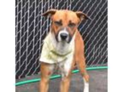 Adopt Charles a Boxer, Foxhound