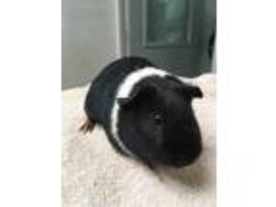 Adopt 42006720 a Black Guinea Pig / Mixed small animal in Lihue, HI (25860545)