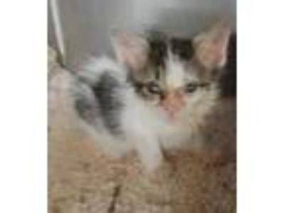 Adopt Tootsie(Avail 7-1) a White Manx / Domestic Shorthair / Mixed cat in