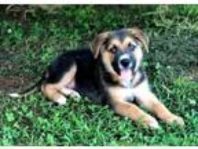 Adopt PUPPY NEEKO a Black - with Tan, Yellow or Fawn German Shepherd Dog / Mixed