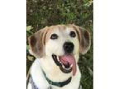 Adopt -Toby in Maine a Beagle