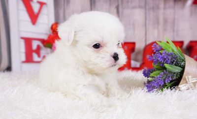 Shihtzu Puppy – Female - Molly ($1,400)