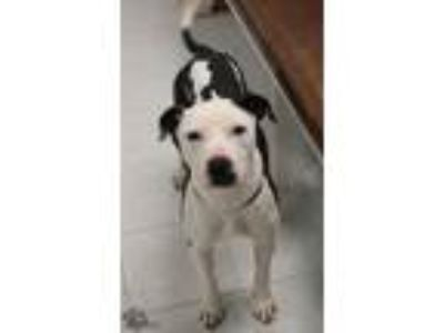 Adopt Frisco a Black - with White Pointer / American Staffordshire Terrier /