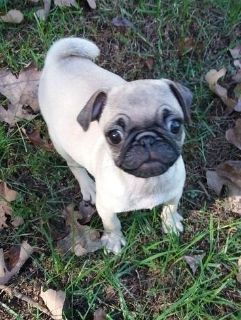 insightful Pug Puppies available