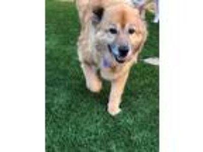 Adopt Minna-Mena a Chow Chow, Sheep Dog