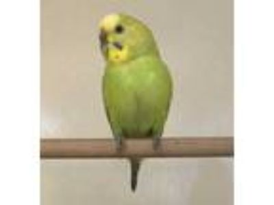 Adopt 41947497 a Yellow Parakeet - Other / Parakeet - Other / Mixed bird in