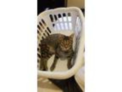 Adopt Kippy a Brown Tabby Domestic Shorthair (short coat) cat in McHenry
