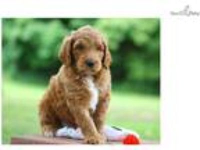 ATTRACTIVE F1b GOLDENDOODLE: VANCOUVER (M)