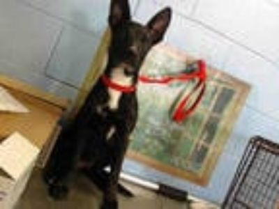 Adopt a Black - with White German Shepherd Dog / Border Collie / Mixed dog in