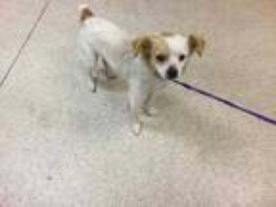 Adopt Dog a White - with Tan, Yellow or Fawn Terrier (Unknown Type