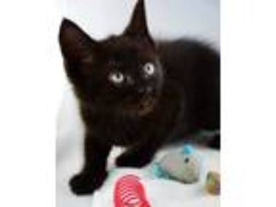 Adopt Neptune a All Black Domestic Shorthair (short coat) cat in Yaphank