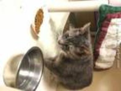 Adopt SASSY a Gray or Blue (Mostly) Domestic Shorthair / Mixed (short coat) cat